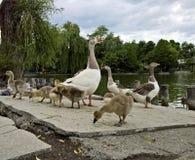 在湖岸的鹅家庭 免版税库存照片