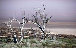 在湖岸的死的树 免版税库存照片