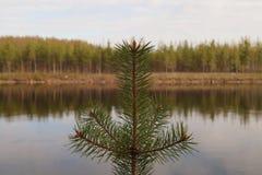 在湖岸背景的冷杉木 图库摄影
