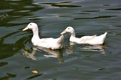 在湖庭院的两只鸭子游泳在吉隆坡 免版税库存照片