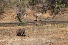 在湖恐慌的Warthog和Kudu羚羊 库存图片
