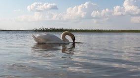 在湖慢动作的天鹅 股票视频