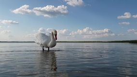 在湖慢动作的天鹅 影视素材