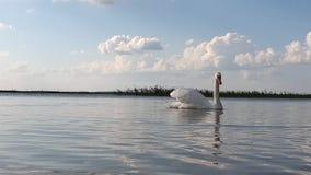 在湖慢动作的天鹅 股票录像