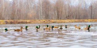 在湖或池塘的鸭子 库存图片
