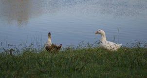 在湖旁边的两只鸭子 免版税库存图片