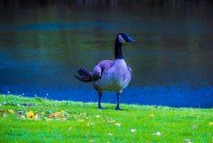 在湖旁边的五颜六色的鹅 库存图片