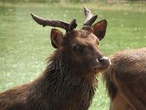 在湖旁边的亚洲鹿 免版税图库摄影
