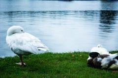 在湖旁边的鸭子在寒冷 库存图片