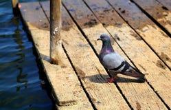 在湖桥梁旁边的灰色鸽子 图库摄影