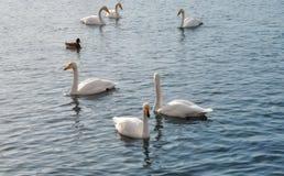 在湖水的白色天鹅 免版税库存照片