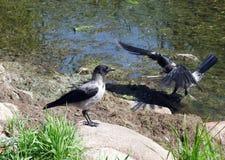 在湖海岸的乌鸦鸟 库存图片