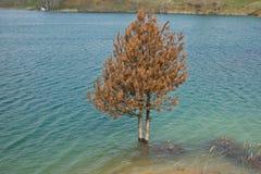 在湖烂掉03的被淹没的松木 库存照片
