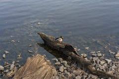在湖照片的鸭子雄鸭 库存照片