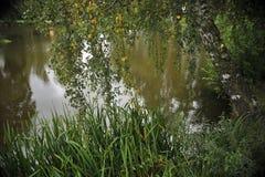 在湖特写镜头的桦树 免版税库存图片