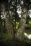 在湖特写镜头的桦树 库存图片