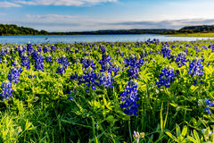 在湖特拉维斯的得克萨斯矢车菊Muleshoe弯的在得克萨斯 免版税图库摄影