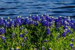 在湖特拉维斯的得克萨斯矢车菊Muleshoe弯的在得克萨斯 免版税库存照片
