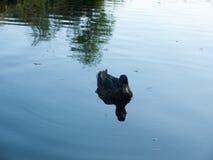 在湖的一只唯一母野鸭 免版税库存图片