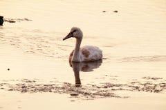 在湖的一只幼小天鹅 库存照片