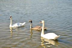 在湖的三只天鹅 免版税库存照片