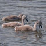 在湖的三只蓬松天鹅小鸡 库存图片