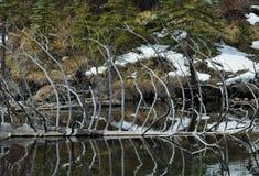 在湖的下落的树 免版税库存图片