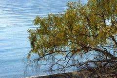 在湖的下落的树 免版税图库摄影
