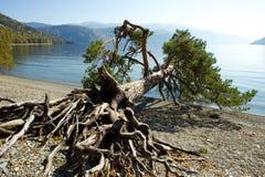 在湖的下落的树 免版税库存照片