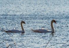 在湖的两只天鹅游泳 免版税库存图片