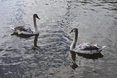 在湖的两只幼小天鹅 免版税库存照片