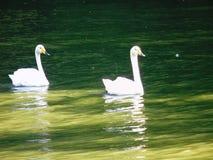 在湖的两只幼小天鹅 图库摄影