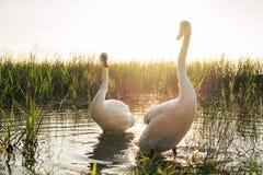 在湖的两只白色天鹅鸟日落的 库存图片