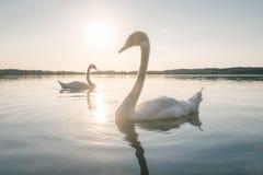 在湖的两只白色天鹅鸟日落的 图库摄影