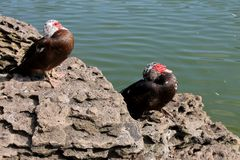 在湖的两只鸟 免版税图库摄影