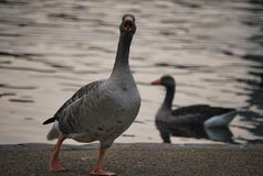 在湖的两只鸭子 库存图片