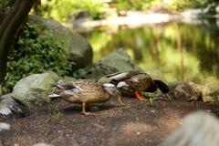 在湖的两只鸭子 免版税库存照片