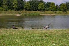 在湖的两只鸽子 免版税库存图片