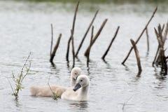 在湖的两只年轻狂放的天鹅小鸡 免版税图库摄影