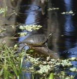 在湖的乌龟 免版税库存照片