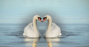 在湖的二只天鹅 免版税库存照片