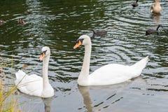 在湖的二只天鹅 库存图片