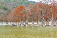 在湖的人划船,在生长Taksodium旁边的sukkah两荡桨了或者落羽杉拉特 落羽松distichum 库存照片