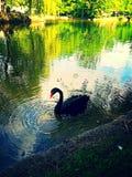 在湖的优美的黑天鹅 免版税库存图片