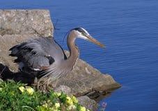 在湖的伟大蓝色的苍鹭的巢 免版税库存图片