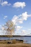 在湖的偏僻的桦树 库存照片