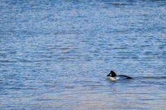 在湖的共同的白颊鸭鸭子 库存图片