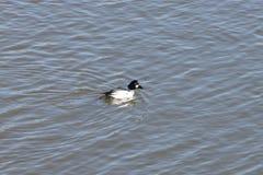 在湖的共同的白颊鸭 免版税库存照片
