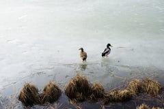 在湖的冰的两只鸭子 免版税库存照片
