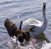 攻击在湖的加拿大鹅的意想不到的惊人的照片一只天鹅 库存图片